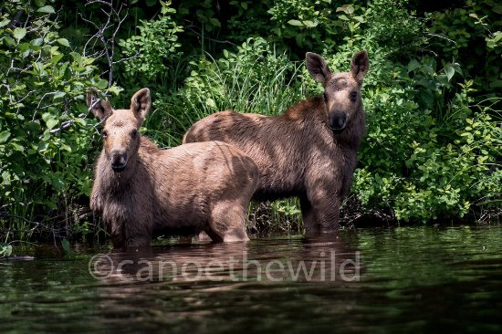 Weston, Μέιν: Maine calf moose spotted while paddling the Allagash