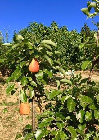Azienda Agricola Il Lentisco: il Pero