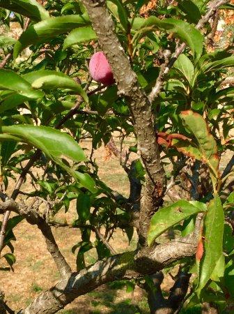 Azienda Agricola Il Lentisco: Susine Santa Rosa