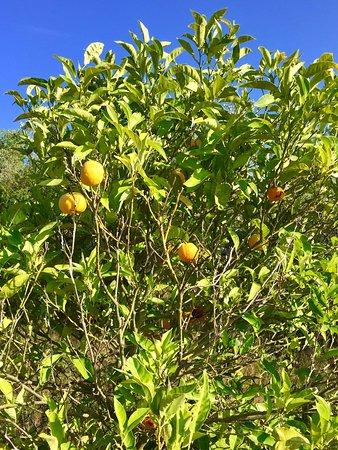 Azienda Agricola Il Lentisco: albero di Limoni
