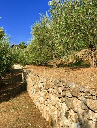 Azienda Agricola Il Lentisco: Uliveto a terrazzamenti