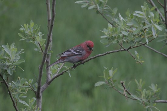 Olds River Inn: Pine Grosbeak