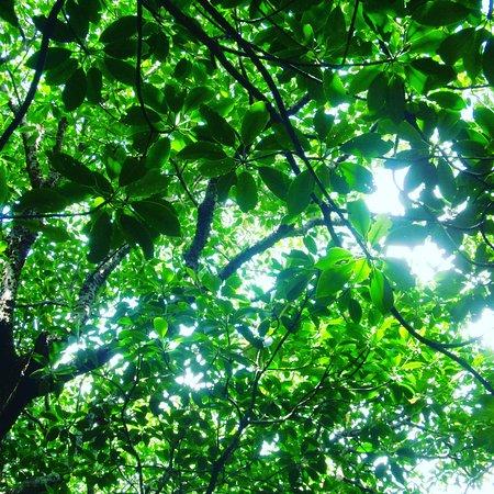 Rhizophoraceae Plant Community of Fukidogawa River: IMG_20170701_205200_746_large.jpg