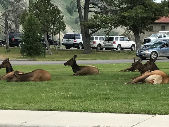 Fort Yellowstone Historic District: Lounging elk