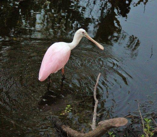 Boyd Hill Nature Preserve : Spoonbill