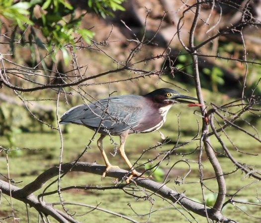 Boyd Hill Nature Preserve : Perching green heron