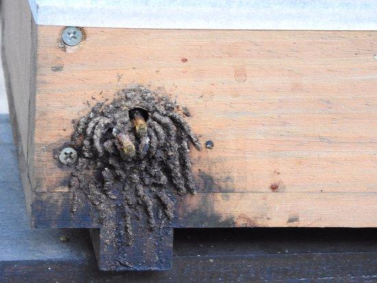 Museu do Instituto Biologico: Entrada da colmeia de abelhas - MIB