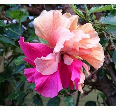 hibiscus du jardin - Picture of Les Kreol\'Inns, Saint-Leu - TripAdvisor