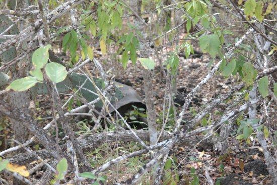 Puerto Villamil, Ecuador: Schildkröte auf dem Weg