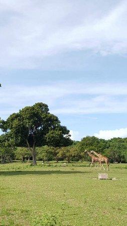 Busuanga Island, Filipinas: the Giraffes of Calauit