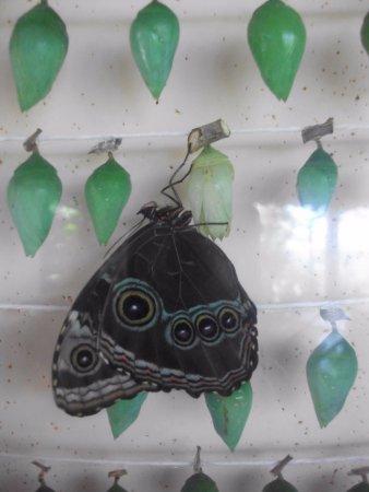 Butterfly Conservatory : Frisch geschlüpft