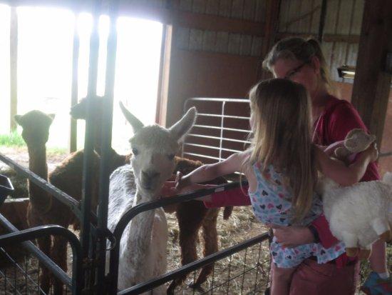 Jay, โอคลาโฮมา: Meeting Alpacas