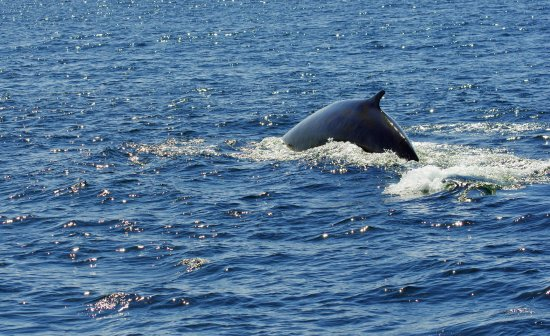 Granite State Whale Watch: this is a Fin whale heading back to the deep water after breathing