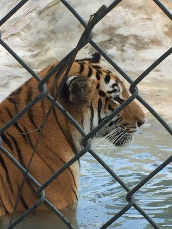 Big Cat Habitat and Gulf Coast Sanctuary : photo0.jpg