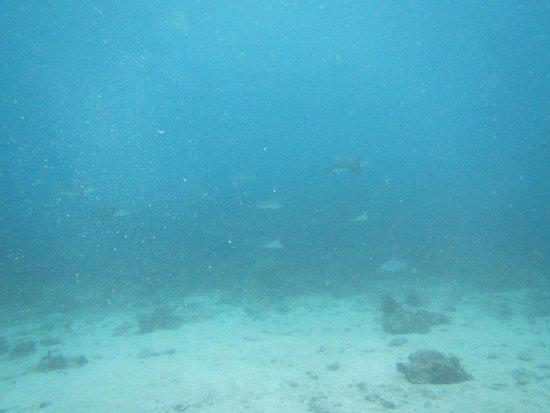 Octopus Diving Center: groupe de raies aigle