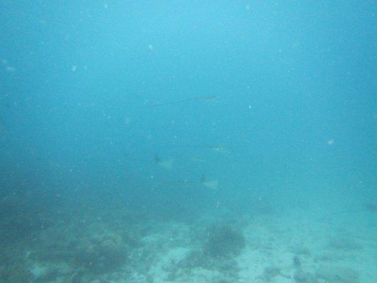 Octopus Diving Center: raies
