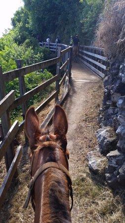 Molokai Mule Ride : Faithful U'i taking me across the bridge.