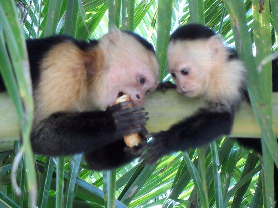 Cahuita, Costa Rica: это обезьянки утащили у нас печенье и не могут поделить никак