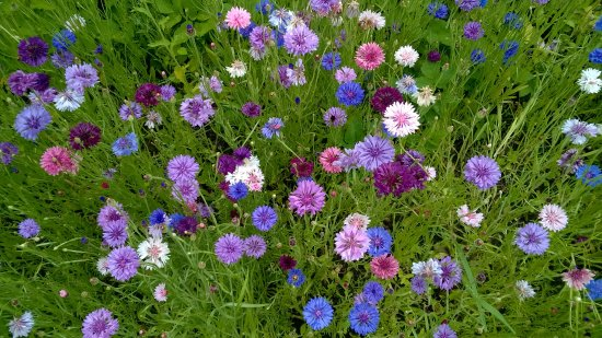 Hartfield, UK: Wild flowers at the border with the field