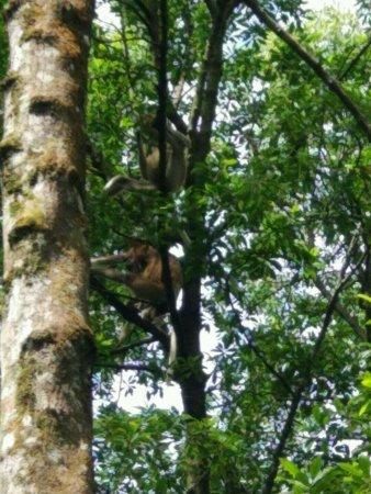 Tarakan, อินโดนีเซีย: beberapa monyet bekantan