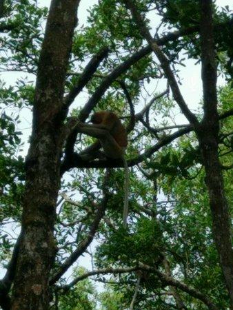 Tarakan, อินโดนีเซีย: salah satu pimpinan monyet jantan