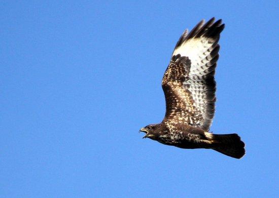 Kajon House B&B: Local Wildlife - Buzzard