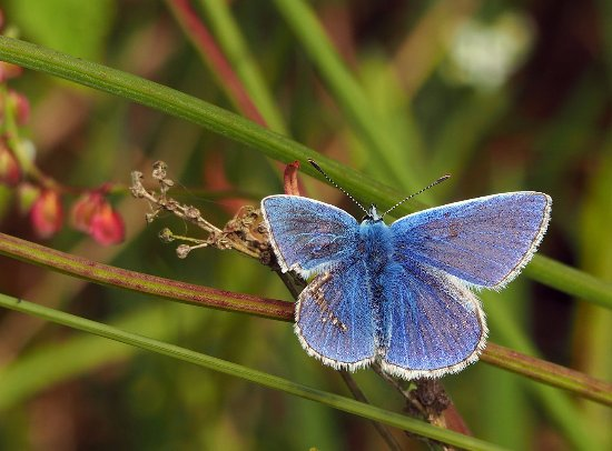 Kajon House B&B: Local Wildlife - Common Blue