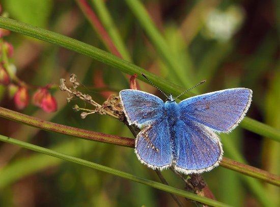 Creevagh, Irlanda: Local Wildlife - Common Blue