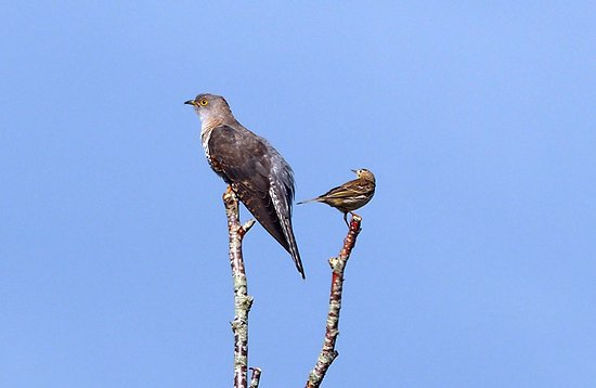 Creevagh, Irlanda: Local Wildlife - Cuckoo with Meadow Pipit