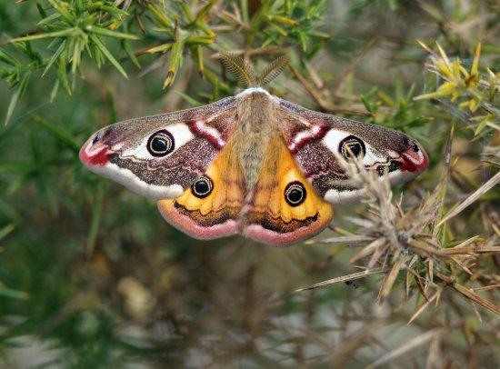 Creevagh, Irlanda: Local Wildlife - Emperor Moth