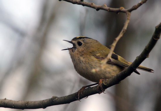 Creevagh, Irlanda: Local Wildlife - Goldcrest
