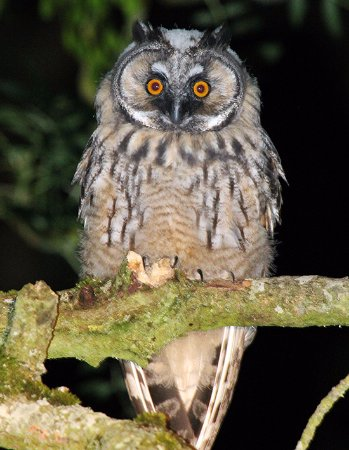 Creevagh, Irlanda: Local Wildlife - Long Eared Owl