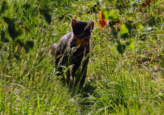 Creevagh, Irlanda: Local Wildlife - Pine Marten
