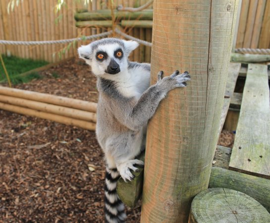 Мейденхед, UK: Ring Tailed Lemur at BCA