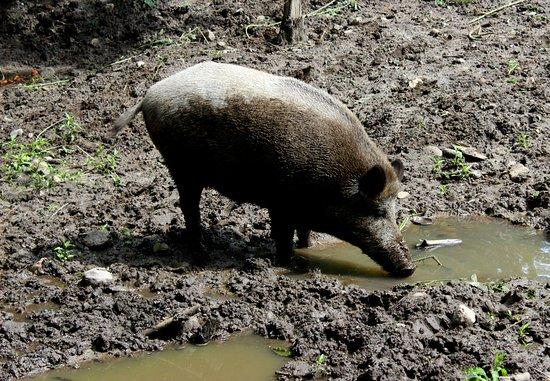 Rosengarten, เยอรมนี: Wildschwein