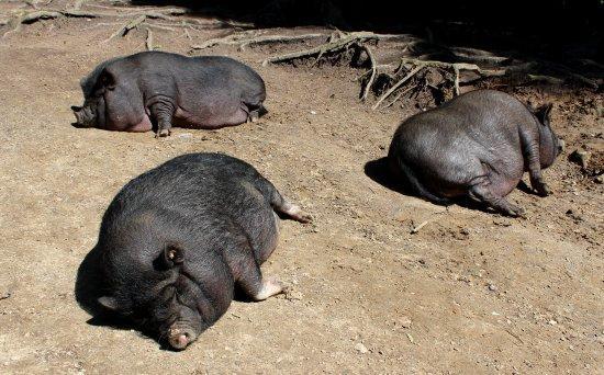 Rosengarten, Germany: Schweine