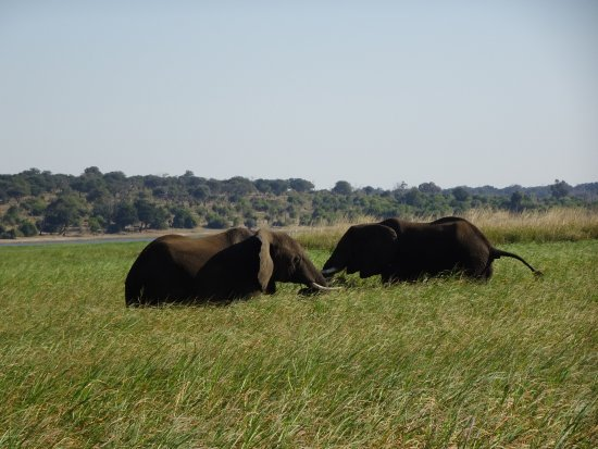 Cresta Mowana Safari Resort and Spa: Grazende olifanten bij Chobe rivier