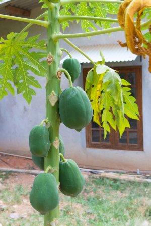 Le Grand Meaulnes - Family Hotel: パパイヤの果樹