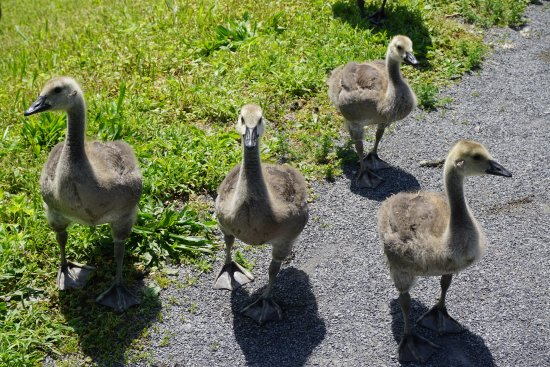 Wilmot, Οχάιο: Goslings on the trail!