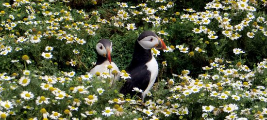 ‪‪Skomer Island‬, UK: Adorable Puffins taken with just a point and shoot pocket camera‬
