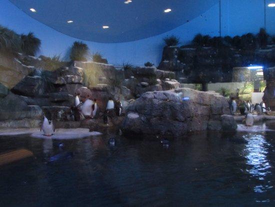 Penguins at Aquarium Pyramid Picture of Moody Gardens Galveston