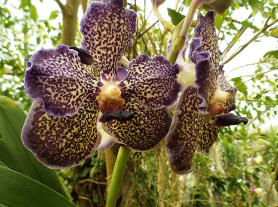 Saint-Cyr-en-Talmondais, France: orchidée