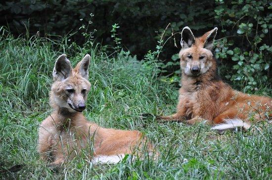 Calviac-en-Périgord, France: Les loups a crinière