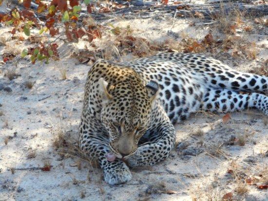Timbavati Private Nature Reserve, Sudáfrica: Leopard. Amazing animal in the wild.