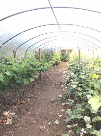 Trethurgy, UK : Vineyard greenhouse