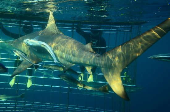 Shark Cage Diving KZN: photo0.jpg