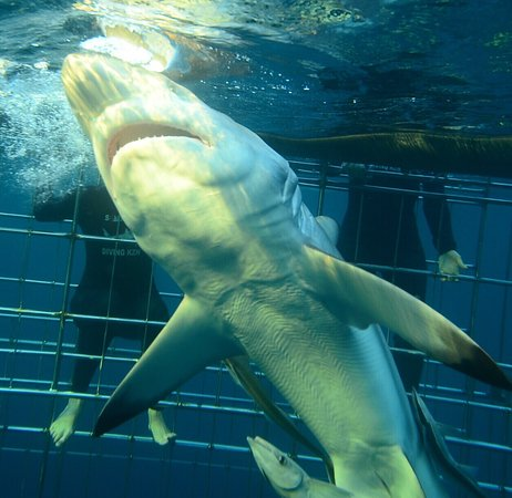 Shark Cage Diving KZN: photo1.jpg