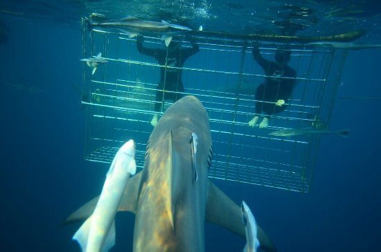 Shark Cage Diving KZN: photo2.jpg