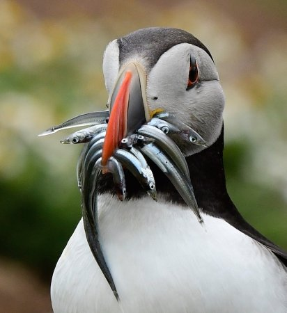 Open Mouth Puffin