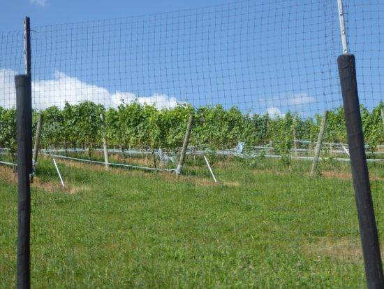 Barrel Oak Winery: Vines